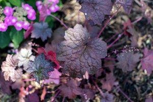 Burgundy Coral Bells in Naturalistic Landscaping